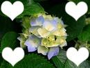 Ma fleur de coeur