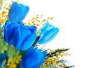 Tulipes bleues