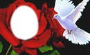 rose et colombe