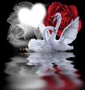 swan inlove