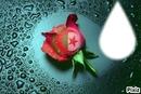 La rose algérienne
