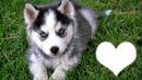 Amour de Husky