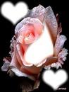 w1 Rose scène