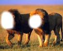 couple de vieux lions