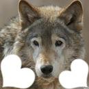 Loup ... de mon coeur