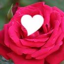Rostro De una Rosa