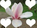 fleur de Magniolias