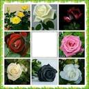 Cc bellas rosas