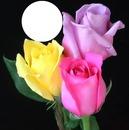 rosas jp