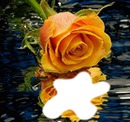 reflet d'une rose