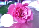 Rose tendresse/*