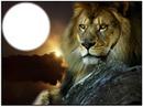Lion couché de soleil