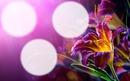 3 photos Fleurs Mauves.