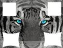tigre au yeux bleu