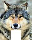 loup bienveillant