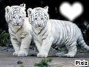 les bébé tigre