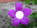 Petite fleur violette.