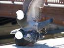 pigeons accouplement