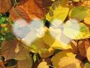 Amour et feuilles d'automne
