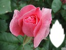 *Coeur parfum de rose*