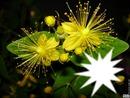fleur du millepertuis