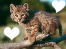 un lynx une vie