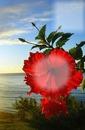 tulipan 2 fotos
