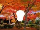 érable japonnais rouge