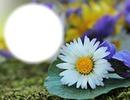 Fleur - marguerite