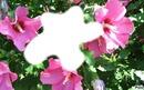 Hibiscus/*