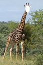 Je suis une girafe !
