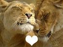 lions amoureux