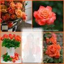 Les roses orange