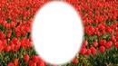 les tulipes rouge de l'amour de tous