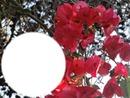 bougainvillea rouge