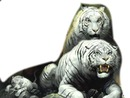 tigre blanc 3