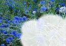 Les bleuets
