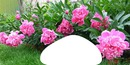 laurier rose 02