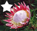 SOUTH AFRICA NATIONAL FLOWER