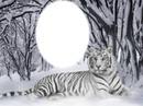 tigre blanco 1 foto