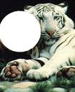 calin de tigre