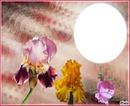 fleurs iris