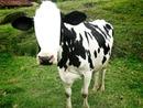 Cara da Vaca