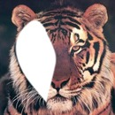 visage du tigre