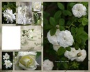 Les roses blanche