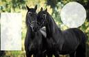 koń fyzyjski