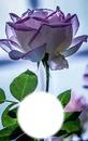 Rose translucide