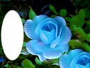 roses bleue