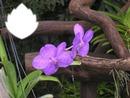 fleur orchidée mauve