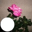 2014 07 24 Rosa Rose